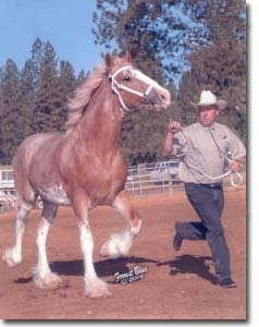 Larry showing Redd Barney's Amazin Grace at the Draft Horse Classic (halter)