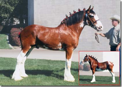 REDD BARNEY'S SIR BENJAMIN #M20879 as a yearling.